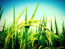 Giacimento del riso della sfuocatura Immagine Stock