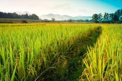 Giacimento del riso della Tailandia con cielo blu e la nuvola Fotografia Stock Libera da Diritti