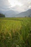 Giacimento del riso della valle sulla stagione del raccolto Fotografie Stock Libere da Diritti