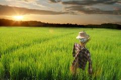 Giacimento del riso dello spaventapasseri Immagini Stock