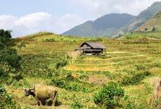 Giacimento del riso di agricoltura del villaggio dell'Asia del toro Immagini Stock