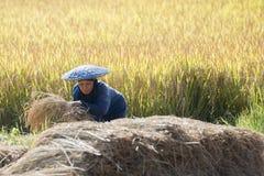 GIACIMENTO DEL RISO DI AGRICOLTURA DELLA TAILANDIA LAMPANG Fotografia Stock Libera da Diritti