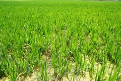 Giacimento del riso di agricoltura in spagna Valencia Fotografia Stock