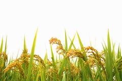 Giacimento del riso di autunno fotografia stock