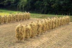 Giacimento del riso di autunno fotografia stock libera da diritti