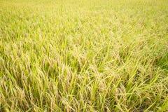 Giacimento del riso di autunno Immagini Stock