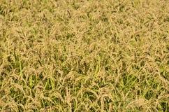 Giacimento del riso di autunno in Italia del nord immagine stock libera da diritti