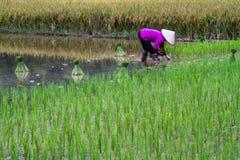 Giacimento del riso di Bac Son Immagini Stock Libere da Diritti