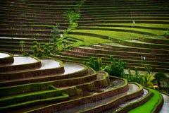 Giacimento del riso di Bali Immagine Stock
