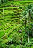 Giacimento del riso di Bali Immagini Stock