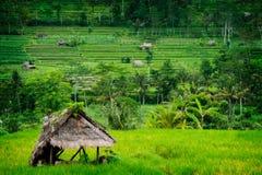 Giacimento del riso di Bali Fotografia Stock