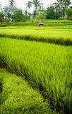 Giacimento del riso di Bali. Fotografie Stock Libere da Diritti