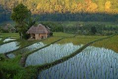 Giacimento del riso di Bali Fotografie Stock Libere da Diritti