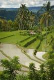 Giacimento del riso di Bali Fotografia Stock Libera da Diritti