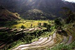 Giacimento del riso di Balinese Immagine Stock