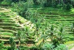 Giacimento del riso di balinese Fotografia Stock