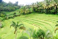 Giacimento del riso di balinese Fotografia Stock Libera da Diritti