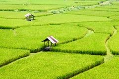 Giacimento del riso di estate Tailandia Immagine Stock