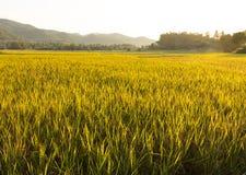 Giacimento del riso di Goldrn prima del raccolto di nella stagione fresca in Tailandia Immagini Stock Libere da Diritti
