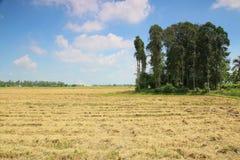 Giacimento del riso di Harveted Fotografia Stock Libera da Diritti
