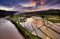 Giacimento del riso di Java fotografia stock