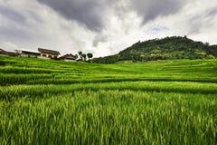 Giacimento del riso di Kulonprogo Fotografia Stock