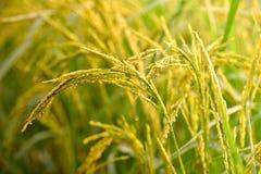 Giacimento del riso di mattina Fotografia Stock Libera da Diritti