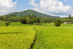 Giacimento del riso di mattina in Tailandia Fotografie Stock