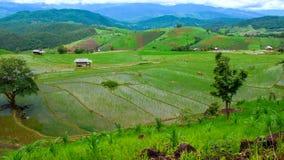 Giacimento del riso di Pabongpiang di lasso di tempo di Hd stock footage