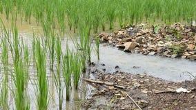Giacimento del riso di scorrimento dell'acqua stock footage
