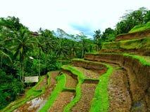 Giacimento del riso di Tegallalang immagine stock libera da diritti