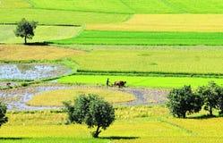 Giacimento del riso in Dong Thap, Vietnam del sud fotografie stock