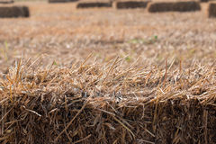 Giacimento del riso dopo il raccolto con le balle della paglia di riso Fotografia Stock Libera da Diritti
