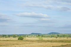 Giacimento del riso dopo il raccolto in natura Immagine Stock