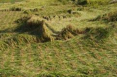 Giacimento del riso dopo il tifone Immagine Stock Libera da Diritti