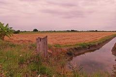 Giacimento del riso dopo raccolto Immagine Stock