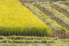 Giacimento del riso durante il tempo di raccolto Immagini Stock Libere da Diritti
