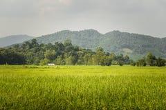 Giacimento del riso e agricoltore Hut in Tailandia Fotografia Stock Libera da Diritti