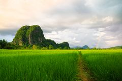 Giacimento del riso e coltivare nella provincia di Chiang Rai Immagini Stock