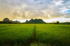 Giacimento del riso e coltivare nella provincia di Chiang Rai Immagine Stock