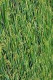 Giacimento del riso, fine sul riso verde del gelsomino Fotografia Stock