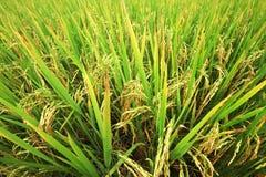 Giacimento del riso, fine sul riso verde del gelsomino Immagini Stock