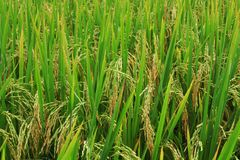 Giacimento del riso, fine sul riso verde del gelsomino Fotografia Stock Libera da Diritti