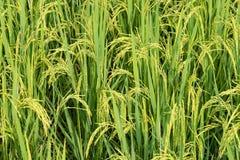 Giacimento del riso, fine sul riso verde del gelsomino con luce calda molle dentro Fotografia Stock