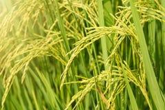 Giacimento del riso, fine sul riso verde del gelsomino con luce calda molle dentro Fotografia Stock Libera da Diritti