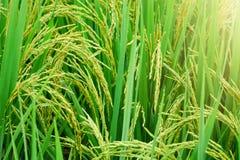 Giacimento del riso, fine sul riso verde del gelsomino con luce calda molle dentro Immagine Stock