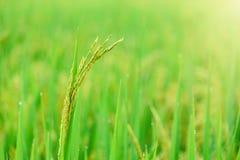 Giacimento del riso, fine sul riso verde del gelsomino con luce calda molle dentro Immagine Stock Libera da Diritti