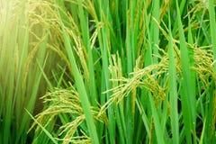 Giacimento del riso, fine sul riso verde del gelsomino con luce calda molle dentro Fotografie Stock
