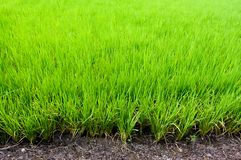 Giacimento del riso, fondo di agricoltura immagini stock