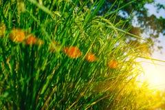 Giacimento del riso in giardino con il fuoco selettivo ed il fondo confuso con effetto del chiarore di illuminazione del sole Fotografia Stock